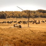 livestock_drought