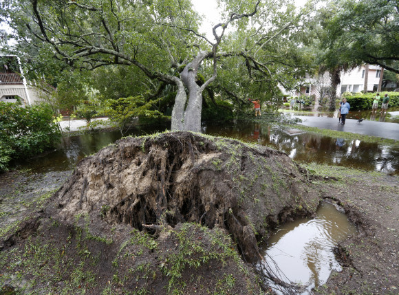 Neighbors watch employees with the city of Isle of Palms cut down a live oak tree that fell down on 23rd Avenue after heavy rains fell on Isle of Palms, S.C., Sunday, Oct. 4, 2015. The South Carolina coast is getting hammered with heavy rains along with an unusual lunar high tide causing flooding all over the state. (AP Photo/Mic Smith)