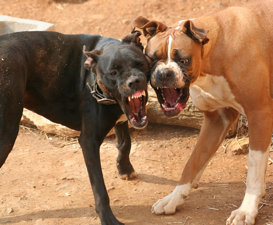 How To Stop Your Dogs From Fighting