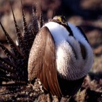 The sage grouse in Nevada is being threatened by Nevada wildfires, and that in turn could threaten some Nevada businesses.
